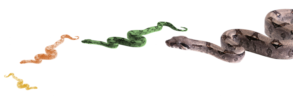 Python in Tableau Prep can rank data.  Pythons in the wild rank by who can swallow the others